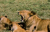 1974-02--1902 2nd Pride of Lions, Ngorongoro Crater, June 11 1974