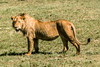 1974-02--1899 2nd Pride of Lions, Ngorongoro Crater, June 11 1974