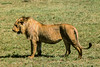 1974-02--1898 2nd Pride of Lions, Ngorongoro Crater, June 11 1974