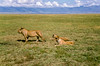 1974-02--1910 2nd Pride of Lions, Ngorongoro Crater, June 11 1974