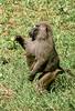 1974-02-1833 Olive Savanna Baboon, Lake Manyara, June 15 1974