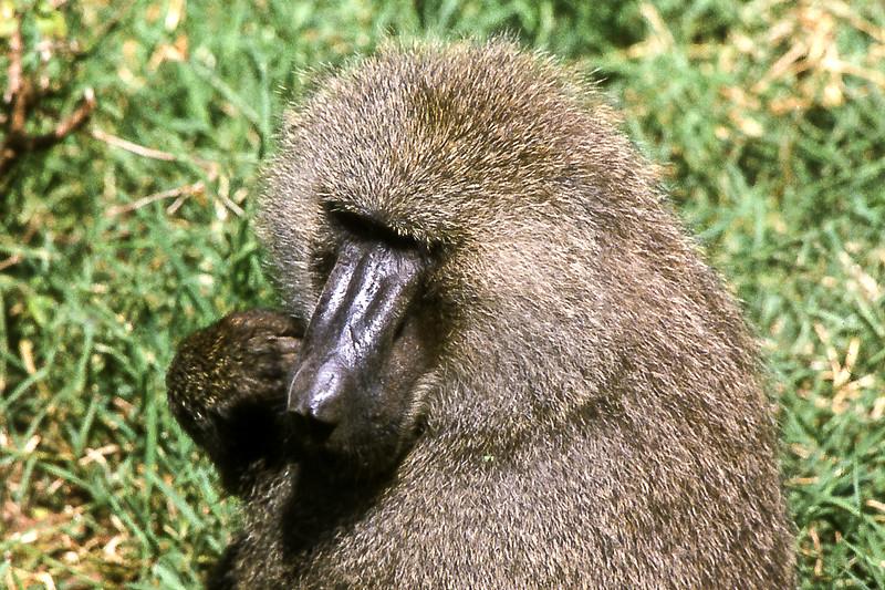 1974-02-1834 Olive Savanna Baboon, Lake Manyara, June 15 1974