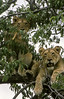 1974-02-1847 Lions, Lake Manyara June 15 1974
