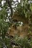 1974-02-1844 Lions, Lake Manyara June 15 1974