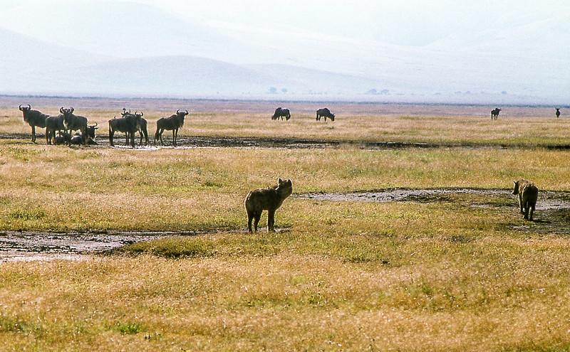 1974-02-2051 Spotted Hyena and Blue Wildebeest, Serengeti, June 12 1974