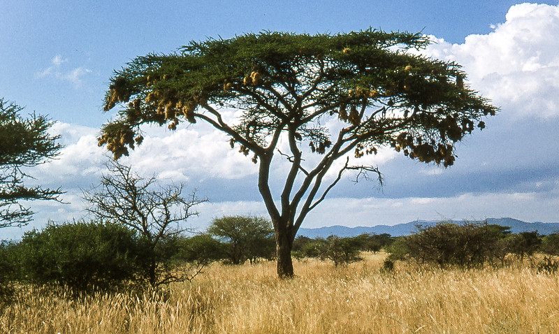 1974-02-111 Weaver birds nests hanging on Acacia tree, Serengeti, June 12 1974