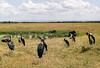1974-02-1992 Marabou Stork, Serengeti, June 12 1974