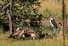 1974-02-2002 White-backed Vultures feeding on White Buffalo carcas, Serengeti, June 12 1974