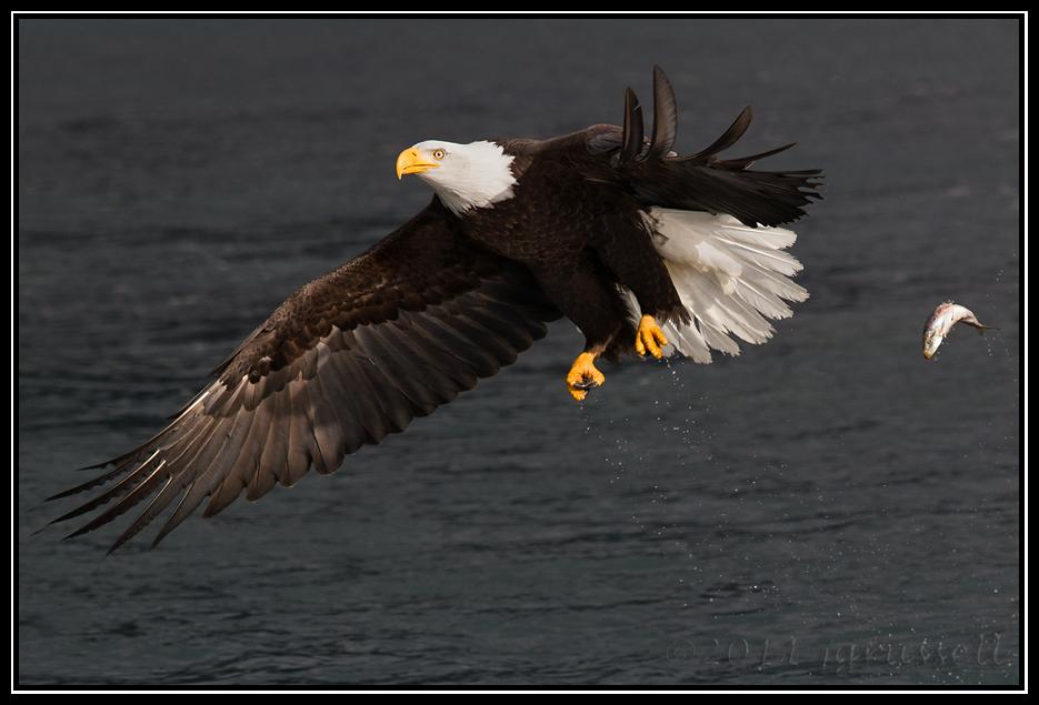 Fish 1, eagle 0