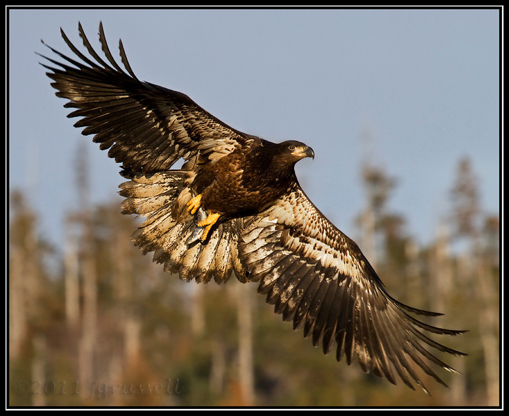 Juvenile bald eagle in evening sun