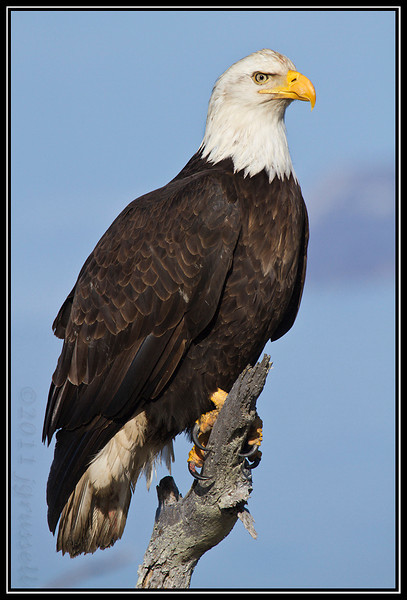 Adult bald eagle perched