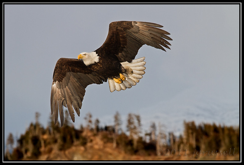 Adult bald eagle in flight