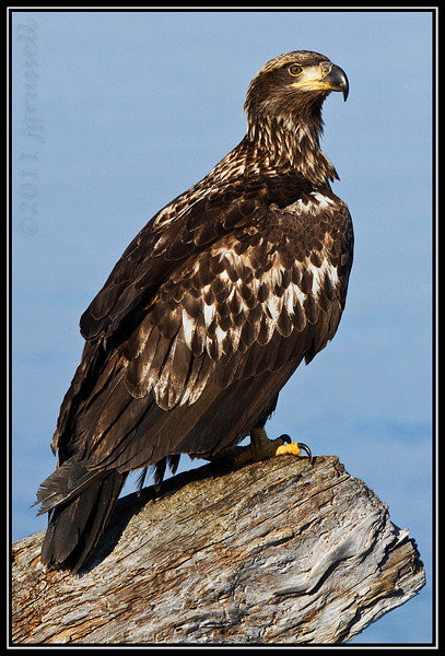 Juvenile bald eagle perched