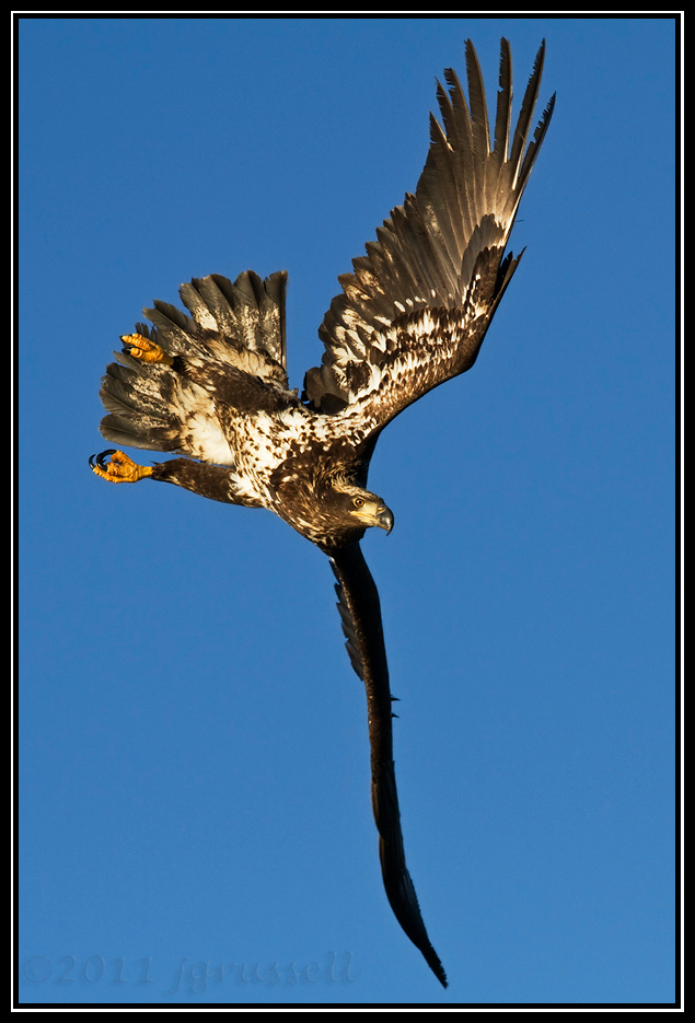 Juvenile bald eagle banking