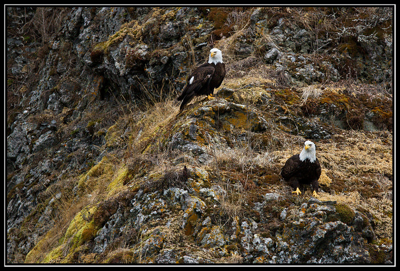 Adult bald eagles on cliffside rocks