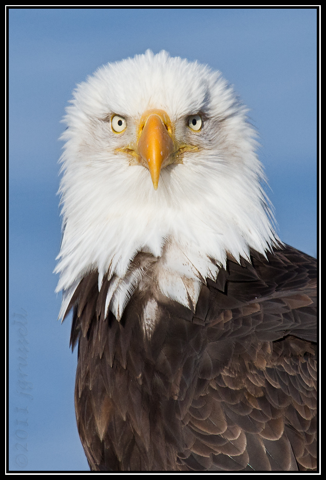 Adult bald eagle portrait
