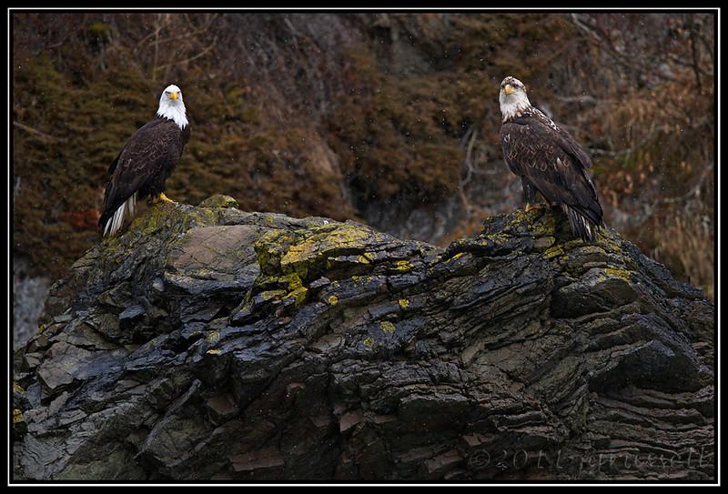 Adult and older juvenile bald eagles on the cliffside rocks