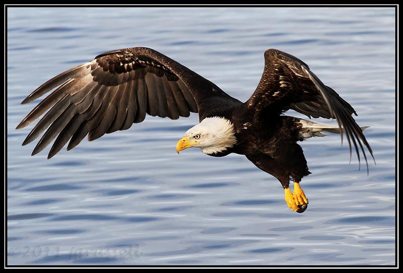 Adult bald eagle fishing