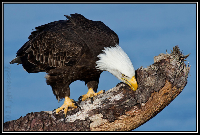 Adult bald eagle cleaning beak