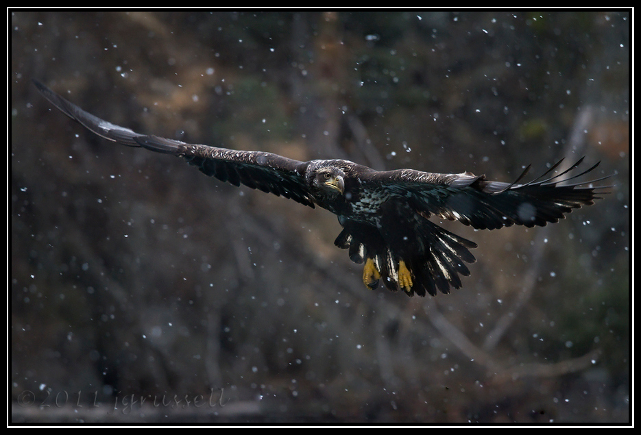 Juvenile eagle flying in snow