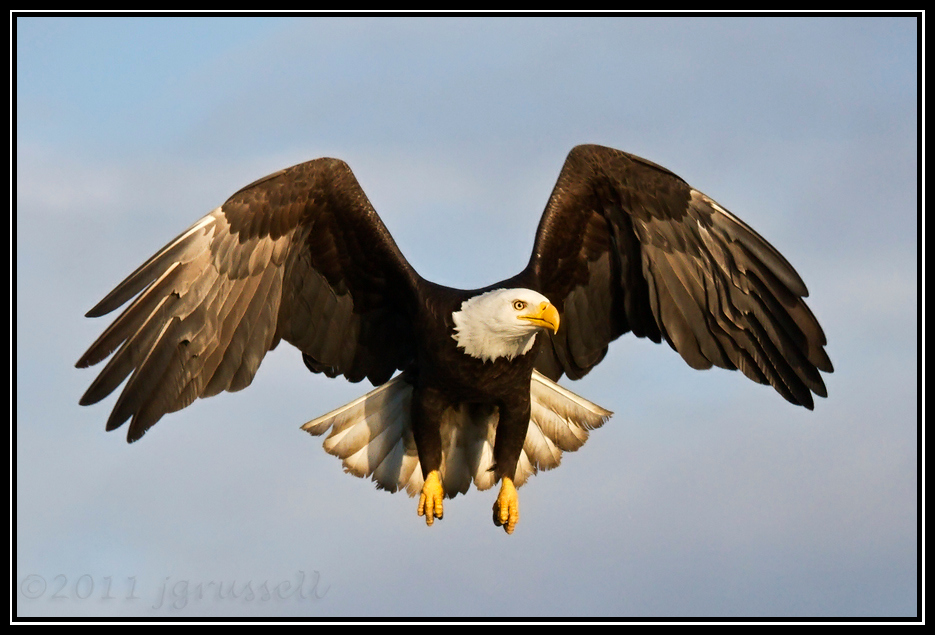Adult bald eagle hovering in flight