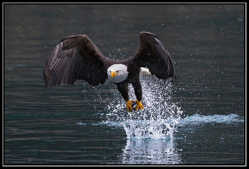 Adult bald eagle fishing in light snow