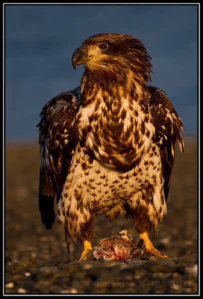 Juvenile eagle at sundown with fish