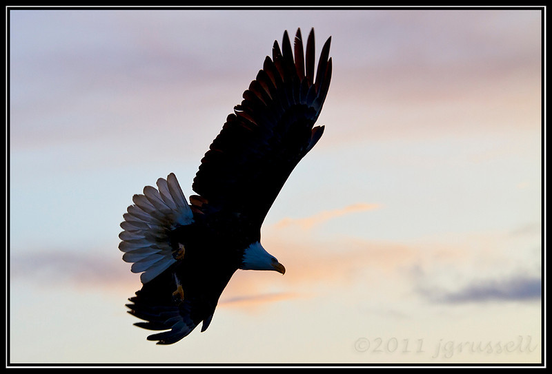 Adult bald eagle at dusk