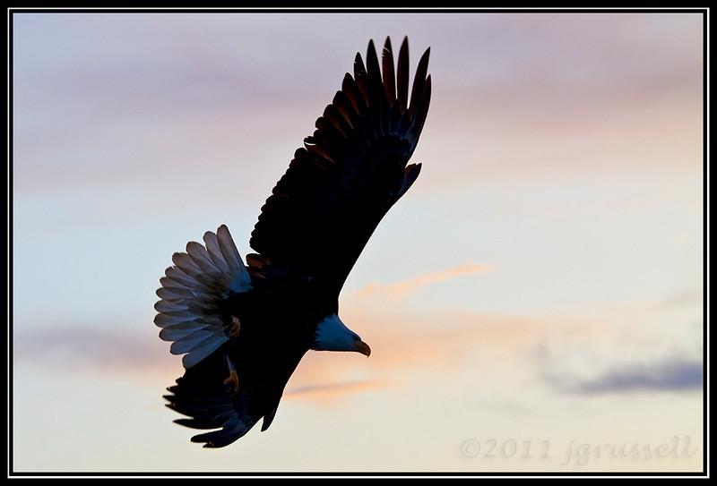 Adult bald eagle at dusk