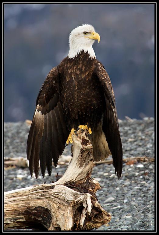 Adult bald eagle perched