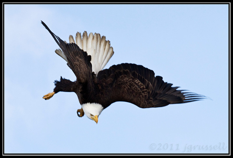 Adult bald eagle starting a dive