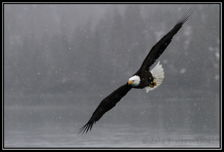 Adult bald eagle flying through snowfall