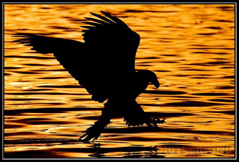 Eagle fishing at sunset
