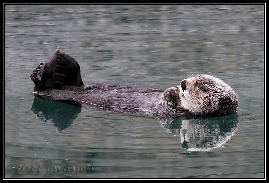 Sea otter in Homer harbor