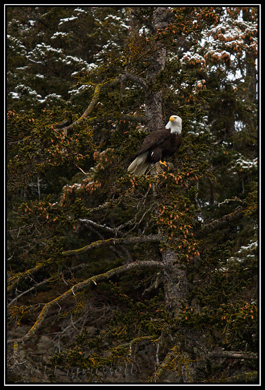 Adult bald eagle perched in tree