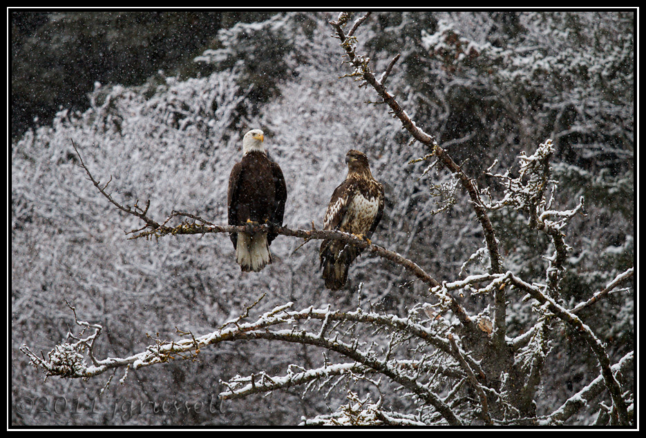 Adult and juvenile bald eagles on snowy branch