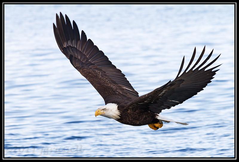 Adult bald eagle gliding