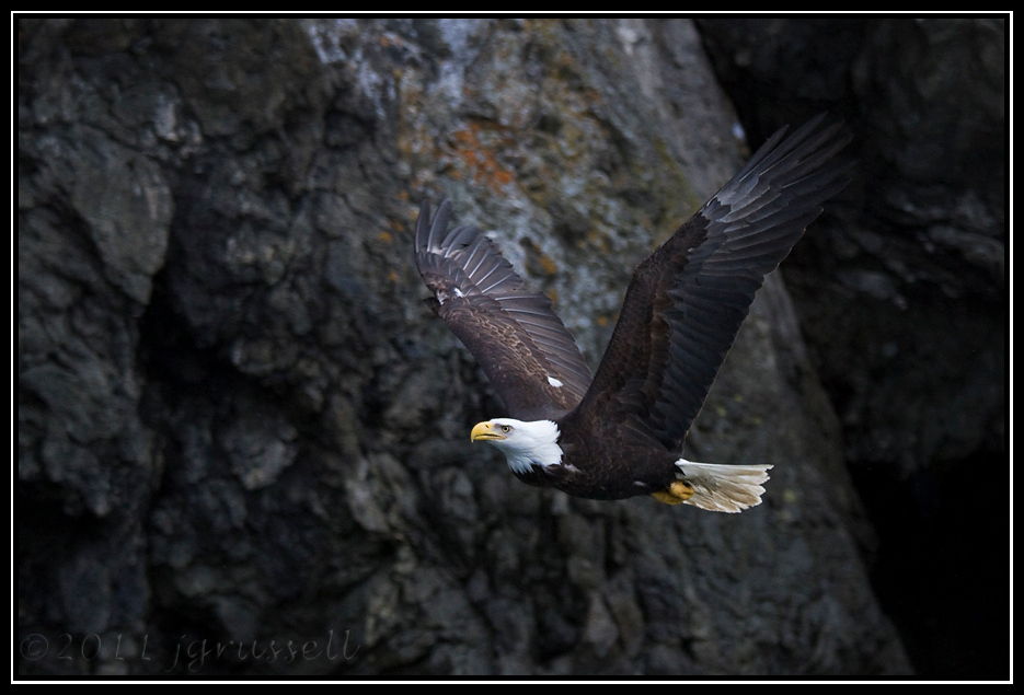 Adult bald eagle at cliffside
