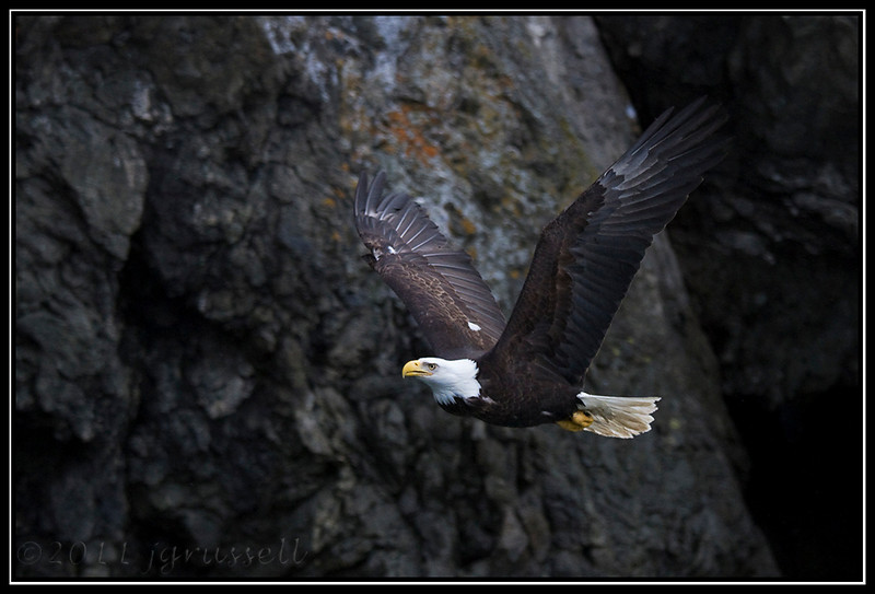 Adult bald eagle at cliffside