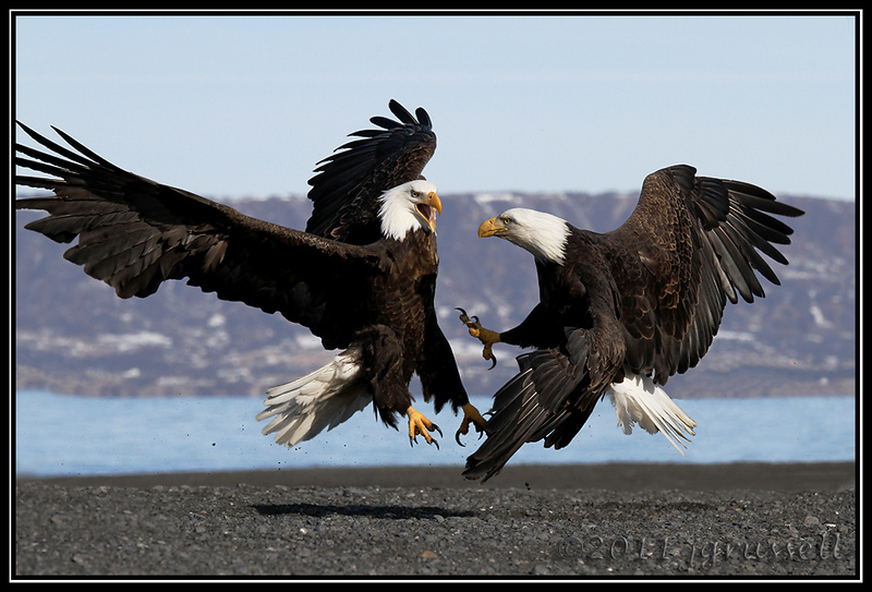 Adult bald eagles fighting