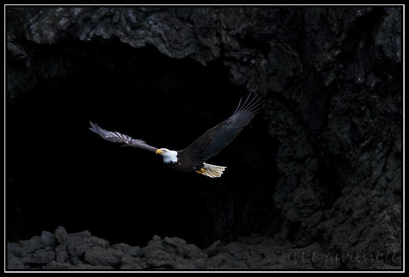 Adult bald eagle in cliffside flight