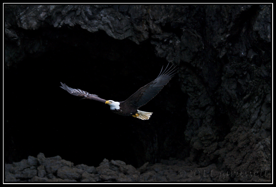 Adult bald eagle in cliffside flight