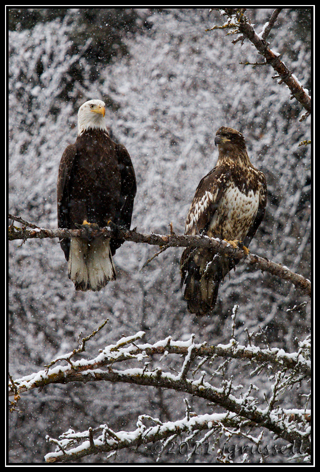 Bald eagles in snowfall