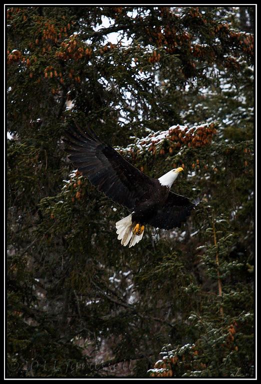 Adult bald eagle in snowy flight
