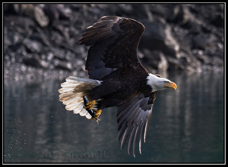 Adult bald eagle fishing