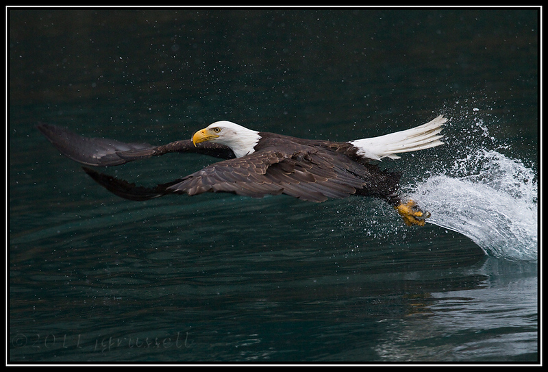 Adult bald eagle fishing in snowfall