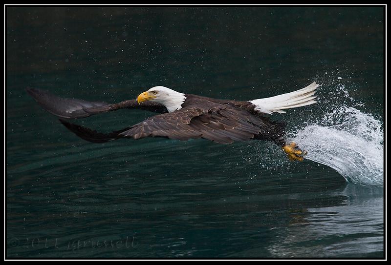 Adult bald eagle fishing in snowfall