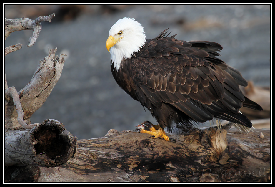 Adult eagle perched with fish