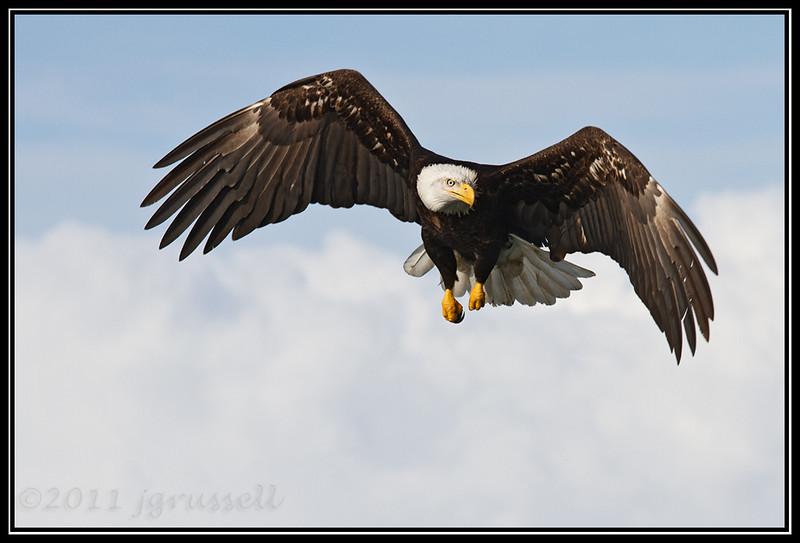 Adult bad eagle hovering