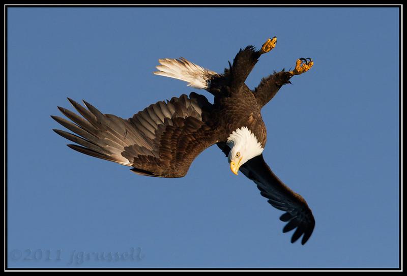 Adult bald eagle banking